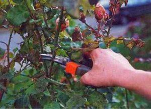 obrezovanje vrtnic